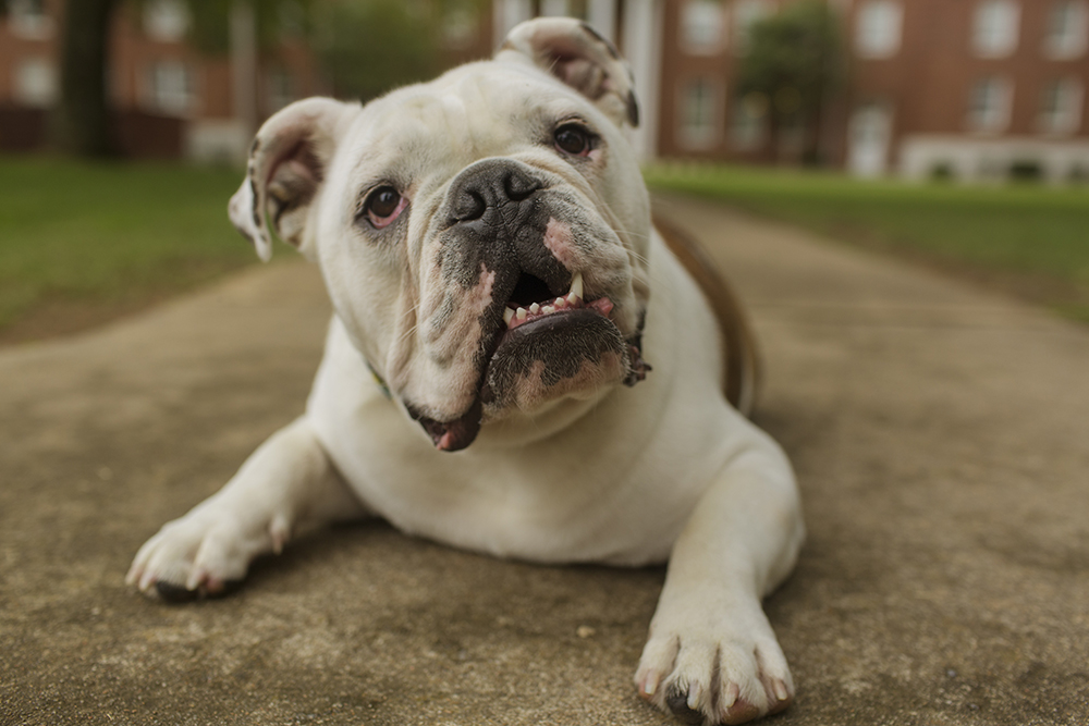 Jerry the Bulldog Outside Caraway Hall