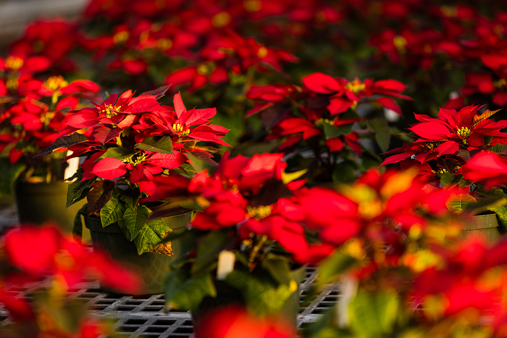 ATU Poinsettias 2019